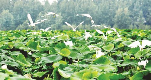 7月2日,一群白鹭在霍邱县城西湖乡万亩荷塘上飞舞.